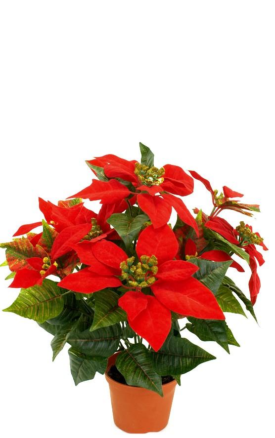 julstjärna, röd