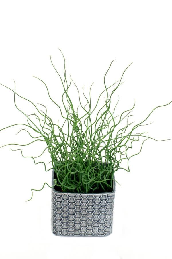 Juncus, konstgjord krukväxt