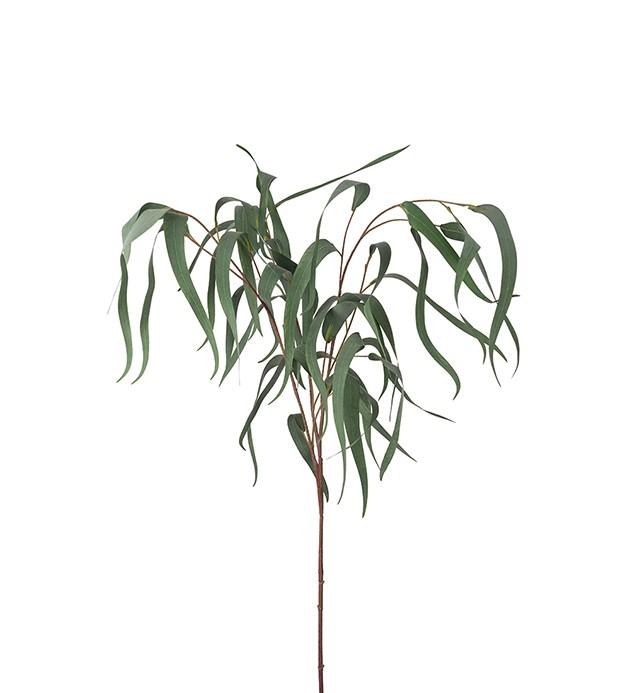 Eucalyptus med långa blad, viminalis, konstgjord kvist