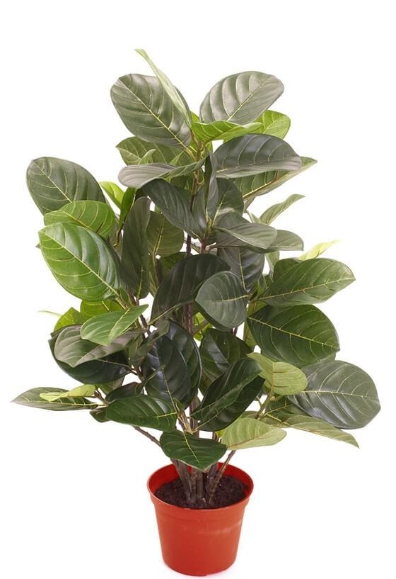Artocarpus, konstgjord krukväxt