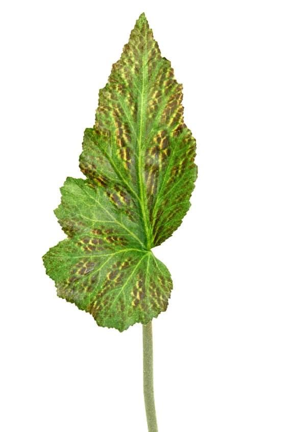 Blad, rexbegonia, konstgjord växt, blomma