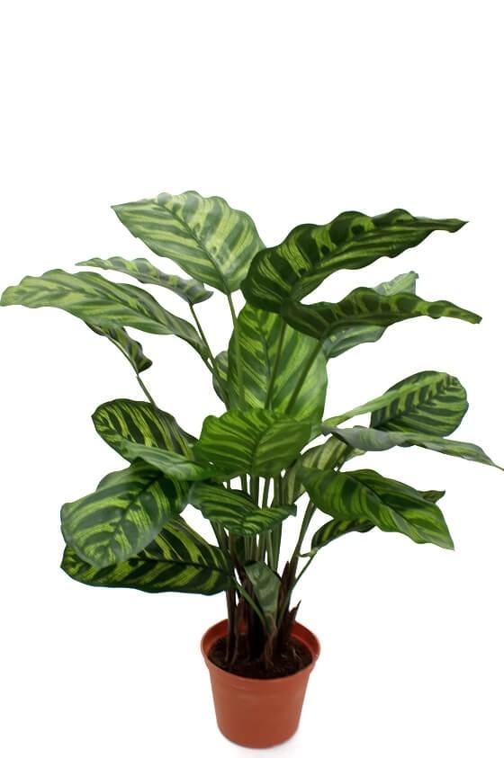 Calathea, konstgjord krukväxt