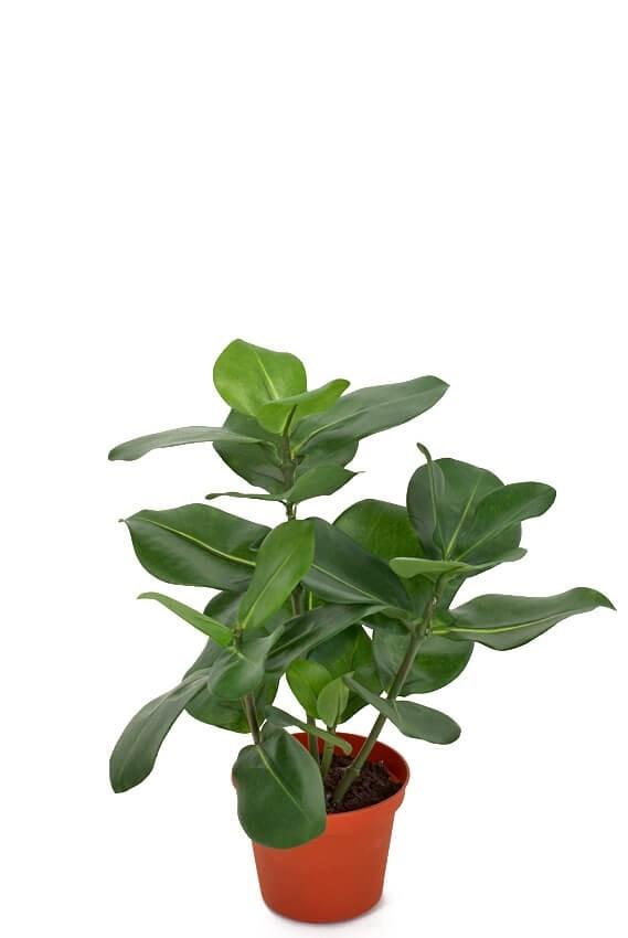 Clusia, konstgjord krukväxt