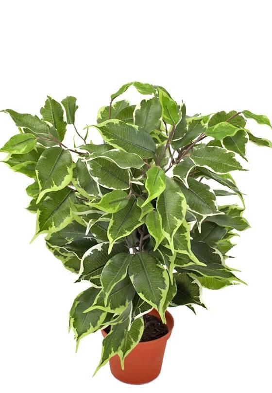 Ficus, golden, konstgjord krukväxt