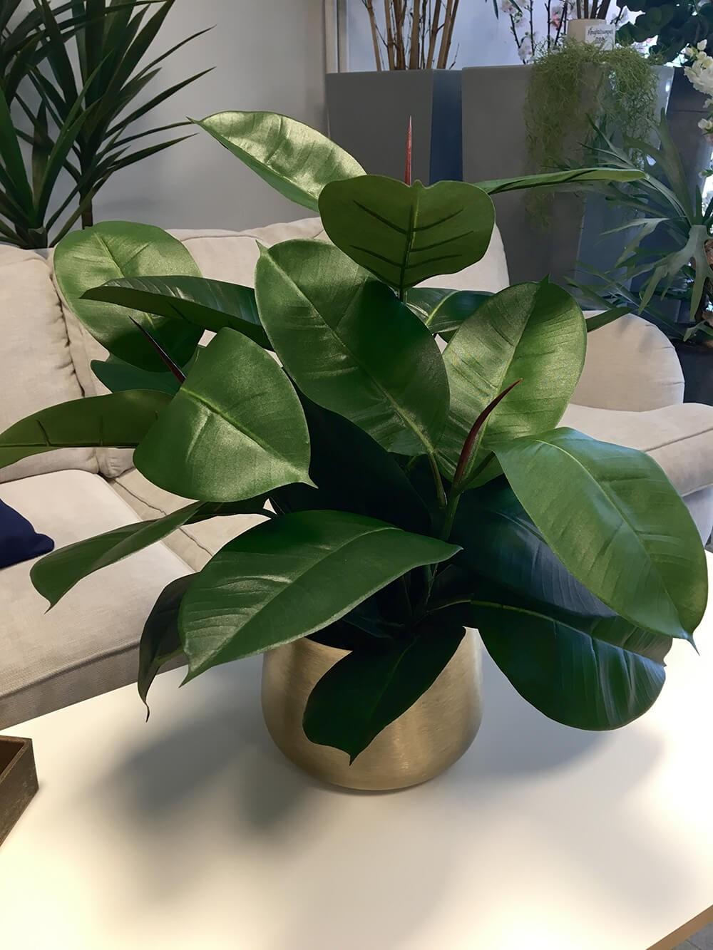 Ficus robusta, Fönsterfikus, konstgjord krukväxt