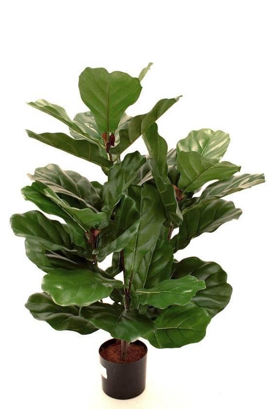 Fiolfikus, konstgjord krukväxt