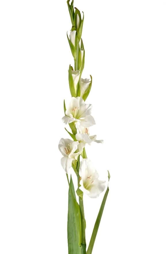 Gladiolus, vit, konstgjord blomma
