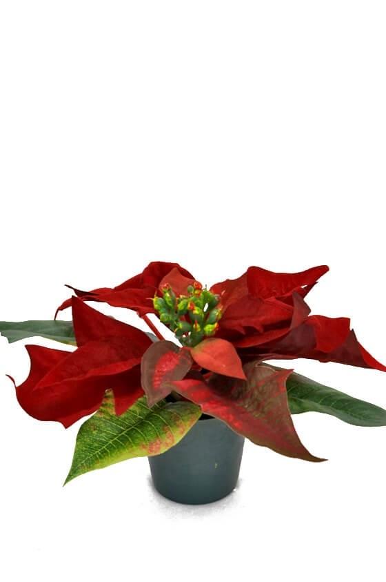 Julstjärna mini, röd, konstgjord