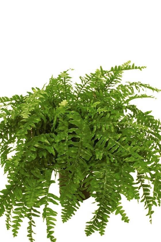 Ormbunke, konstgjord krukväxt