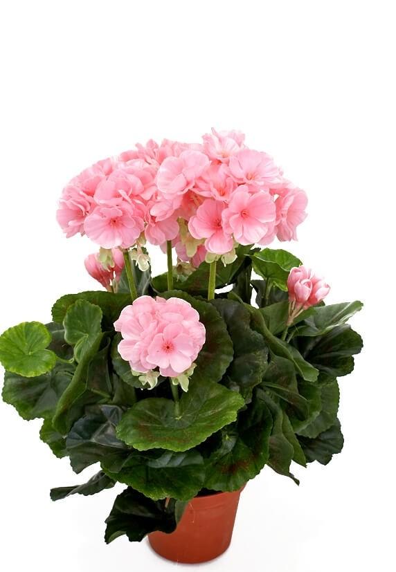 Pelargonia, ljusrosa, konstgjord-blomma