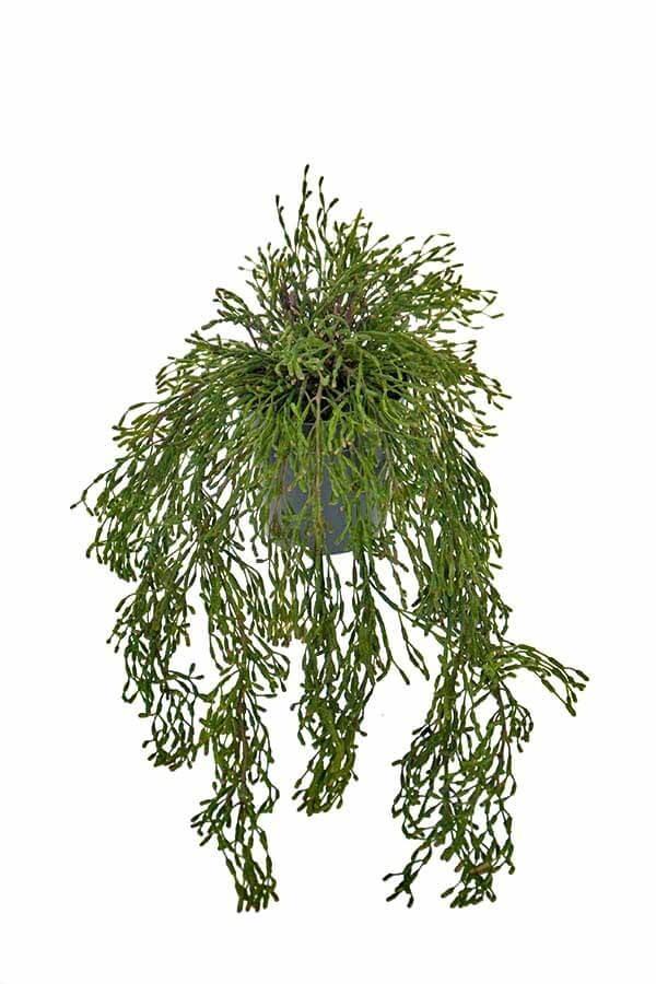 Rhipsalis, häng, konstgjord
