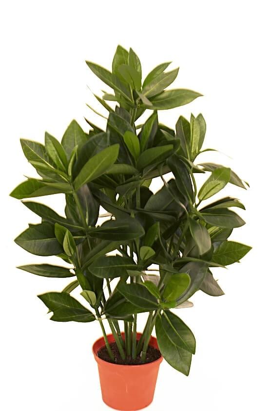 Sakaki, konstgjord krukväxt
