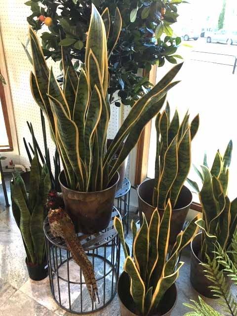 Svärmorstunga, konstgjord krukväxt
