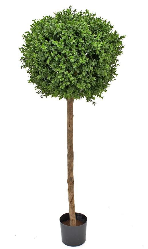 buxbom på stam