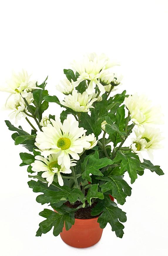 krysantemum, vit