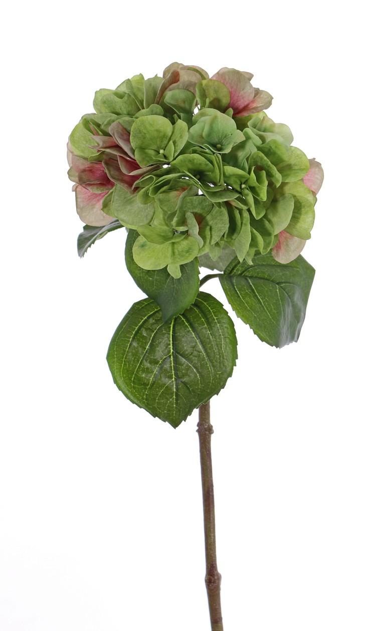 hortensia,  grön