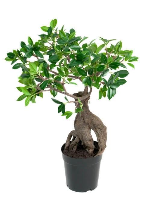 Ficus Ginseng, konstgjord krukväxt