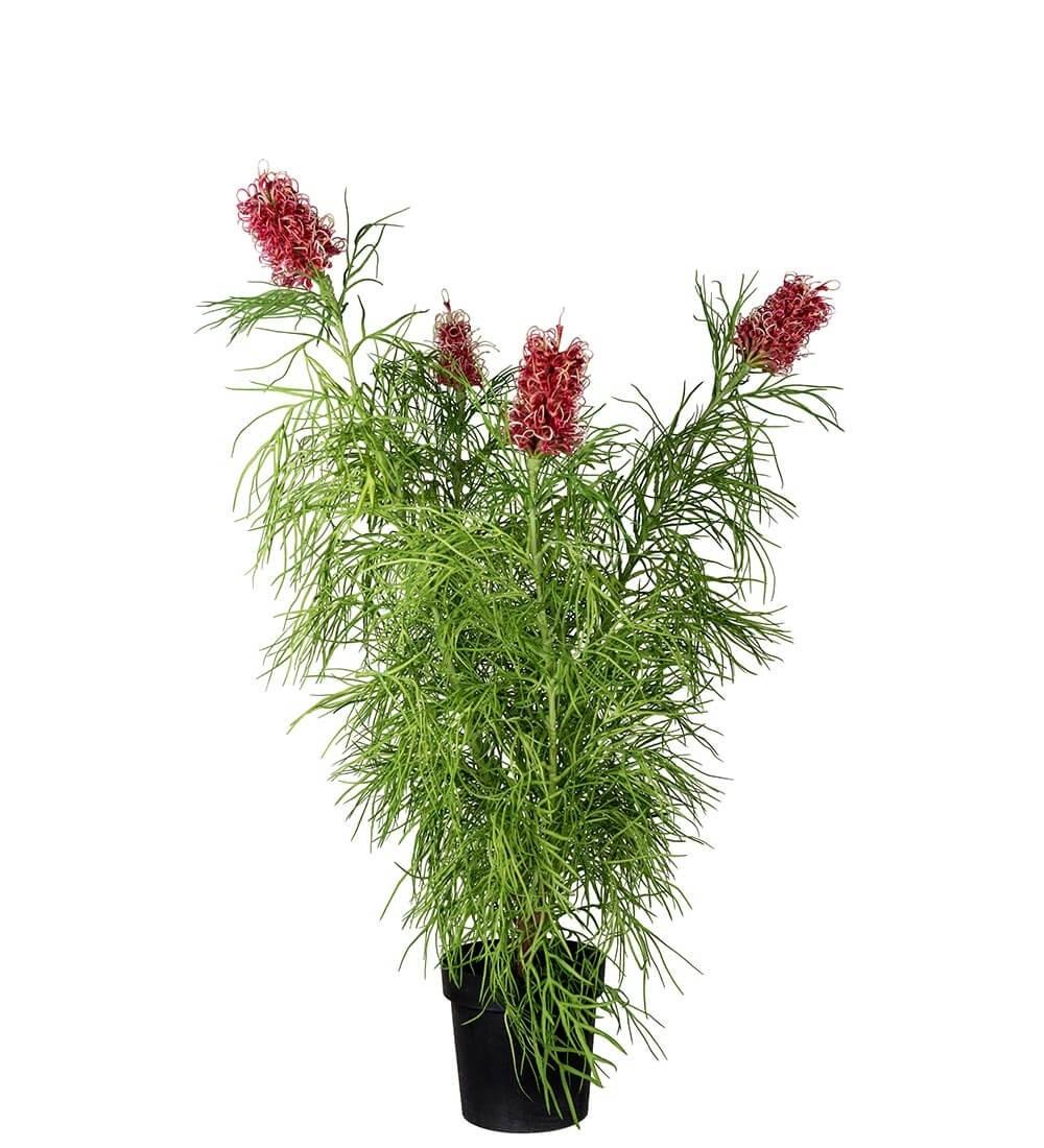 Grevillea, konstgjord krukväxt
