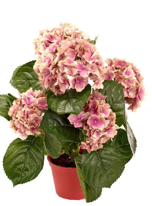 Hortensia, rost lila, konstgjord krukväxt