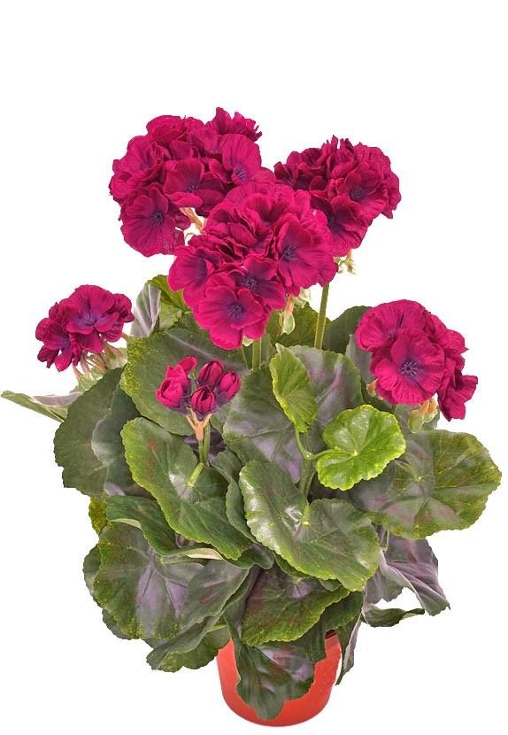 Pelargonia, mörk lila, konstgjord blomma