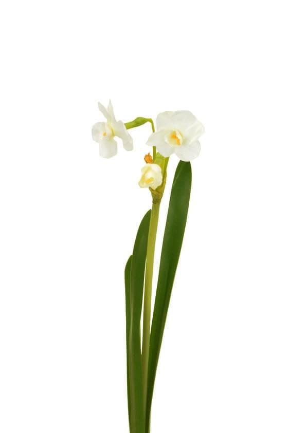 Påsklilja, narciss, konstgjord blomma