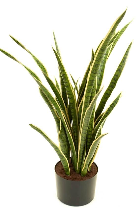 Svärmors tunga, konstgjord krukväxt