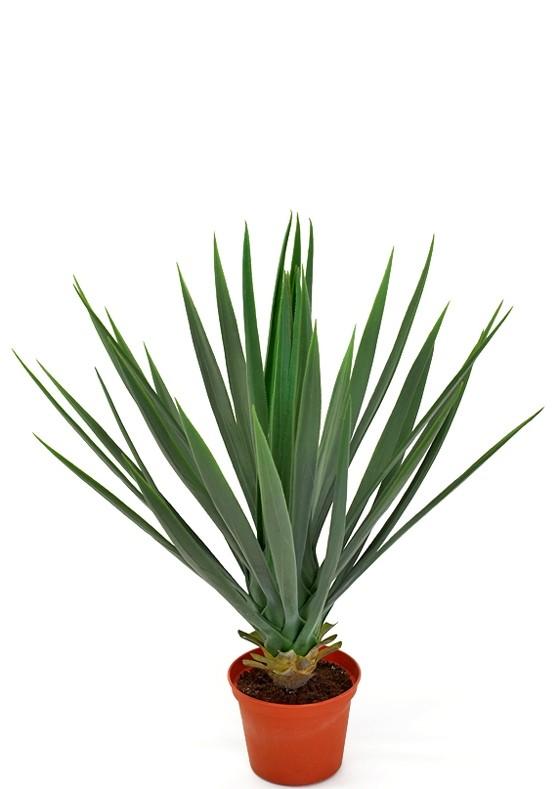 Yucca rostrata, konstgjord