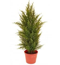 Cypress, konstgjord krukväxt