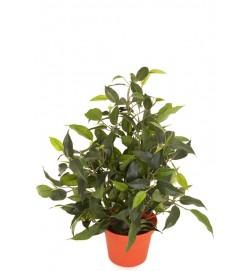 Ficus natasja, konstgjord krukväxt