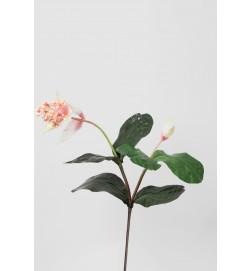 Medinilla, Rosenskärm konstgjord kvist