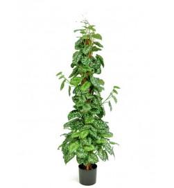 Silverranka, konstgjord krukväxt