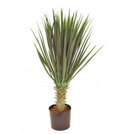 Yucca rostrata, konstgjord krukväxt