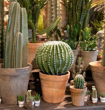 kaktus-agave